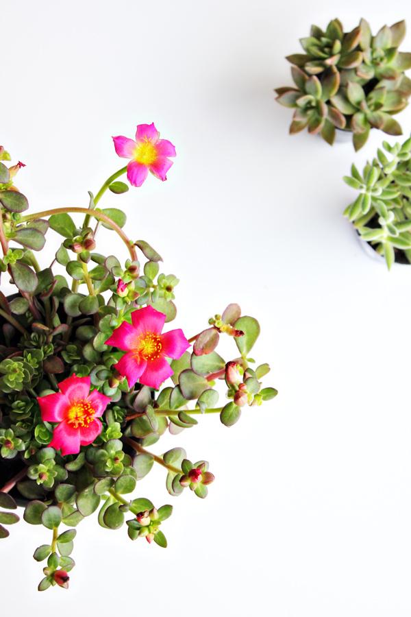 purslane and succulents